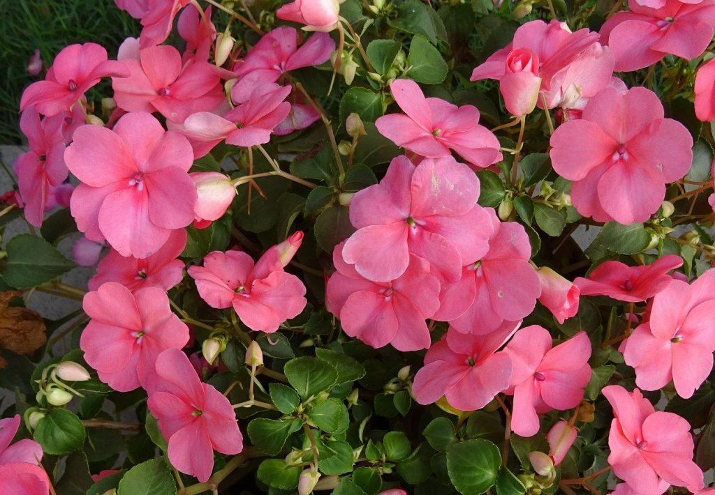 Impatiens walleriana plante rose