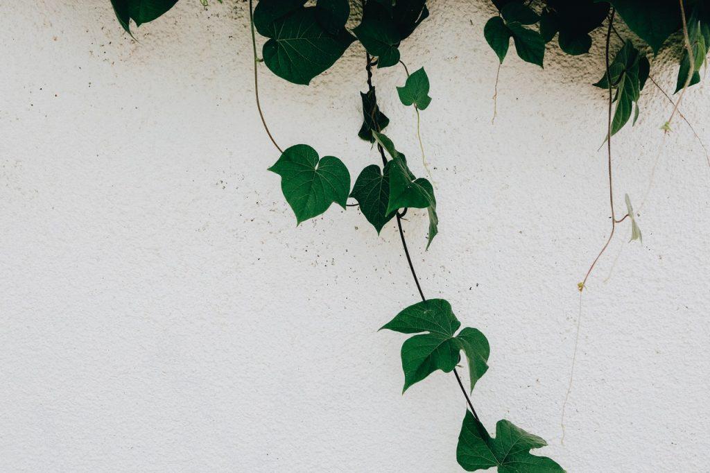Le lierre plante rampante, sur un mur blanc