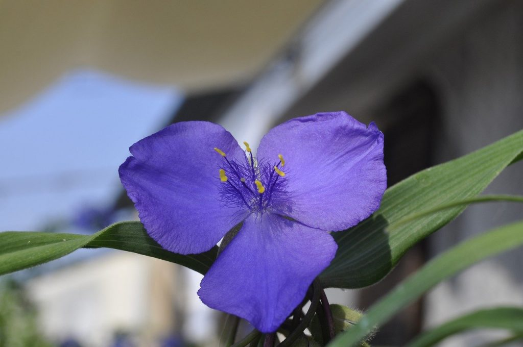 Fleurs plantes Tradescantia fluminensis