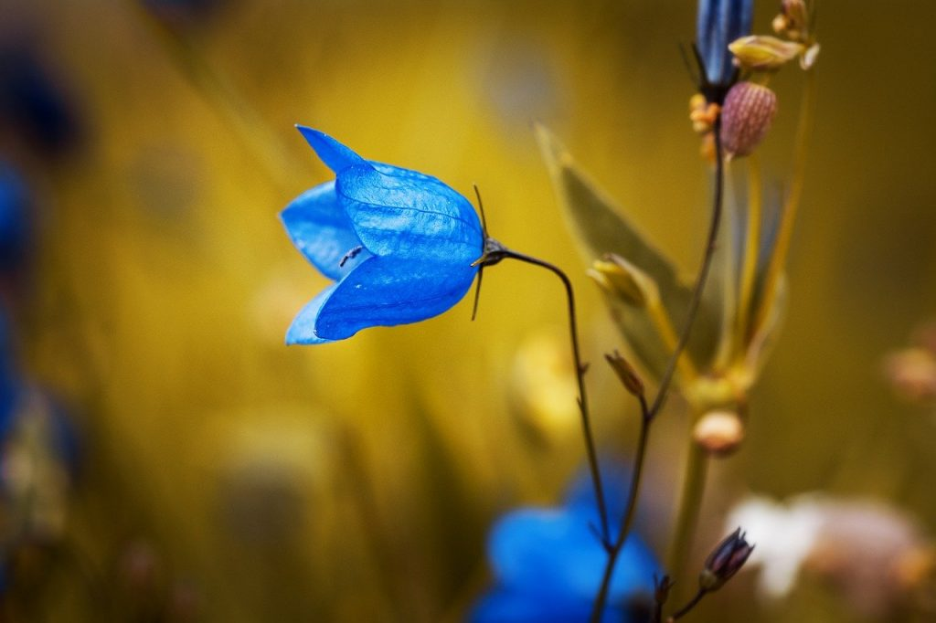Campanule bleu clochette, fleur, plante