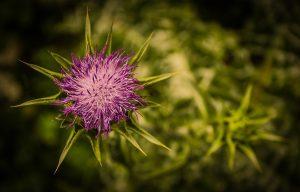 Chardon des champs, plante, mauvaise herbe
