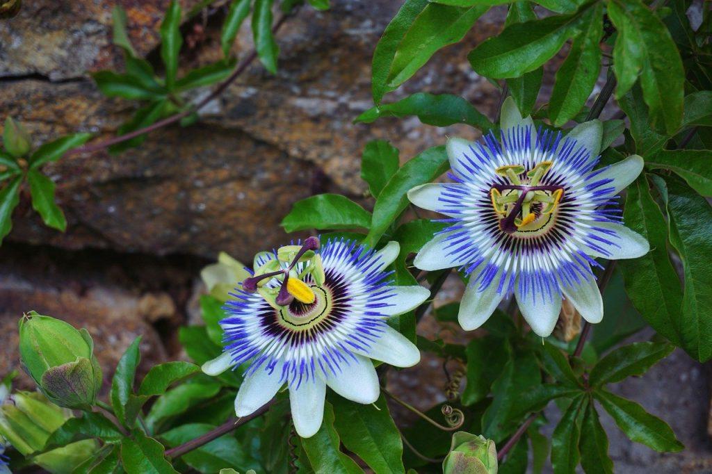 Deux fleurs de passiflores
