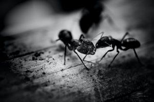 Deux fourmis sur un plancher photo en noir et blanc