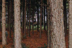Forêt bois, tronc pin