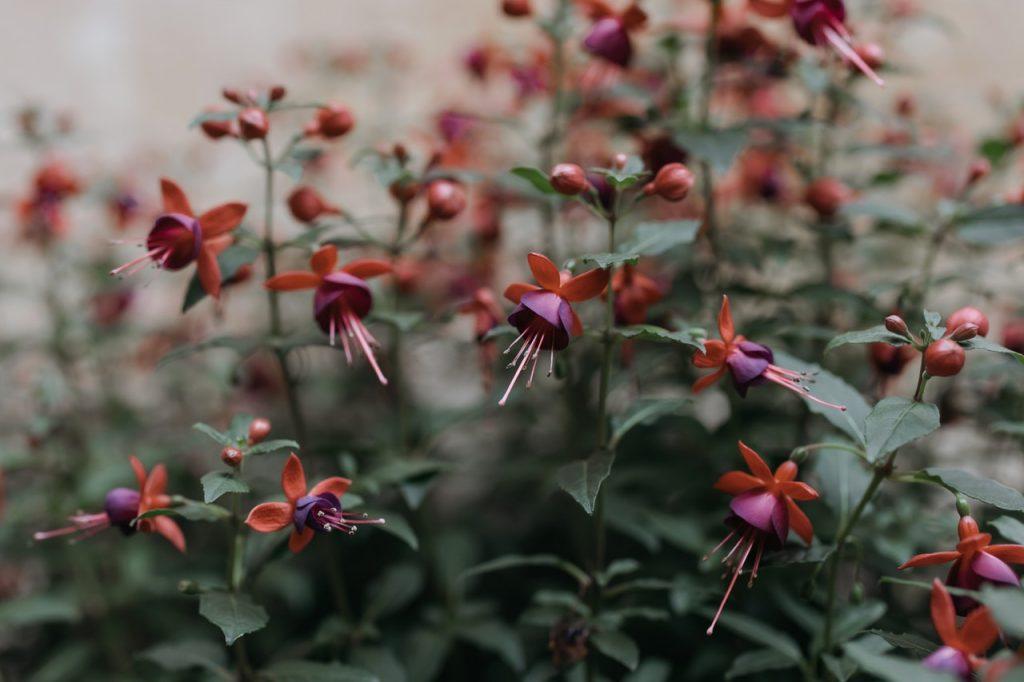 Fuchsia, plante fleurs bourgeons