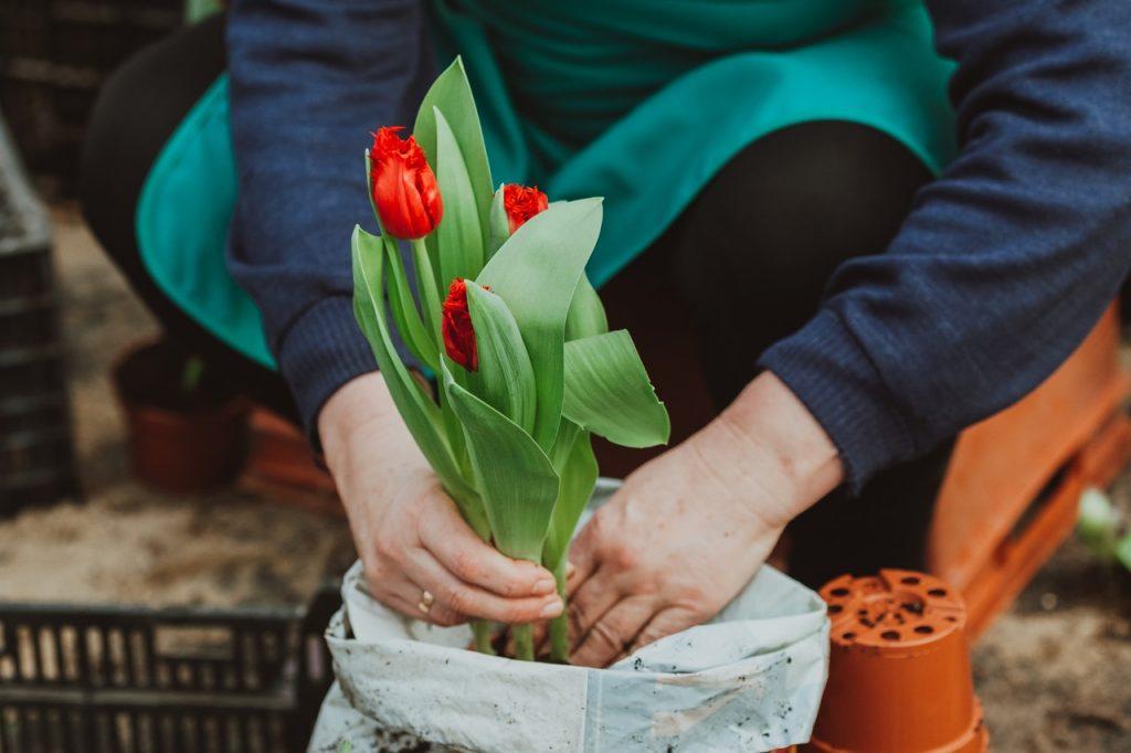 Femme plantant des tulipe rouge