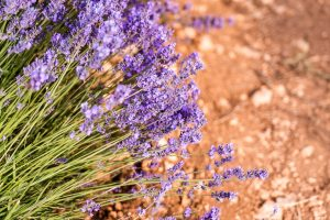 Lavande buisson, Provence sud