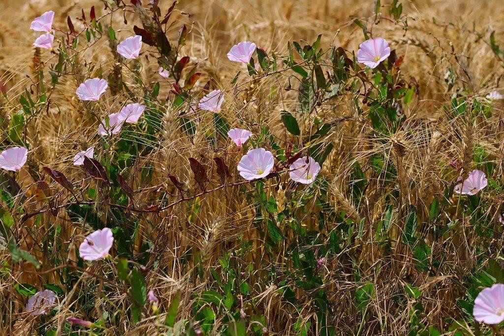 Fleurs liseron des champs