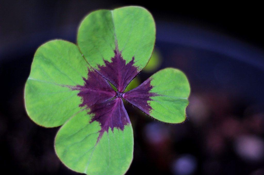 Oxalis triangularis, trèfle vert et violet