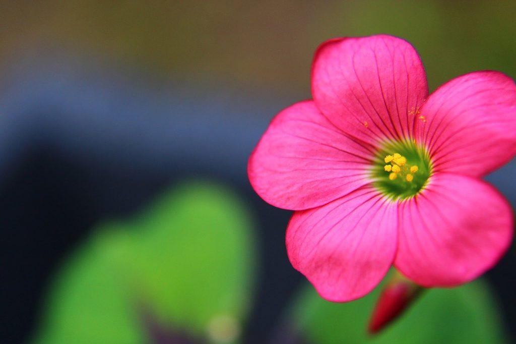 oxalis fleurs rose plante