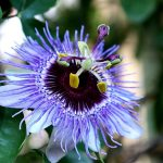 Passiflore, fleurs colorées