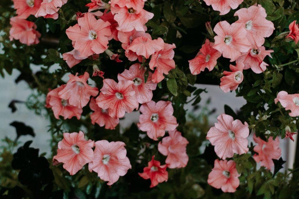 Pétunia, fleurs rose, sous feuilles vertes