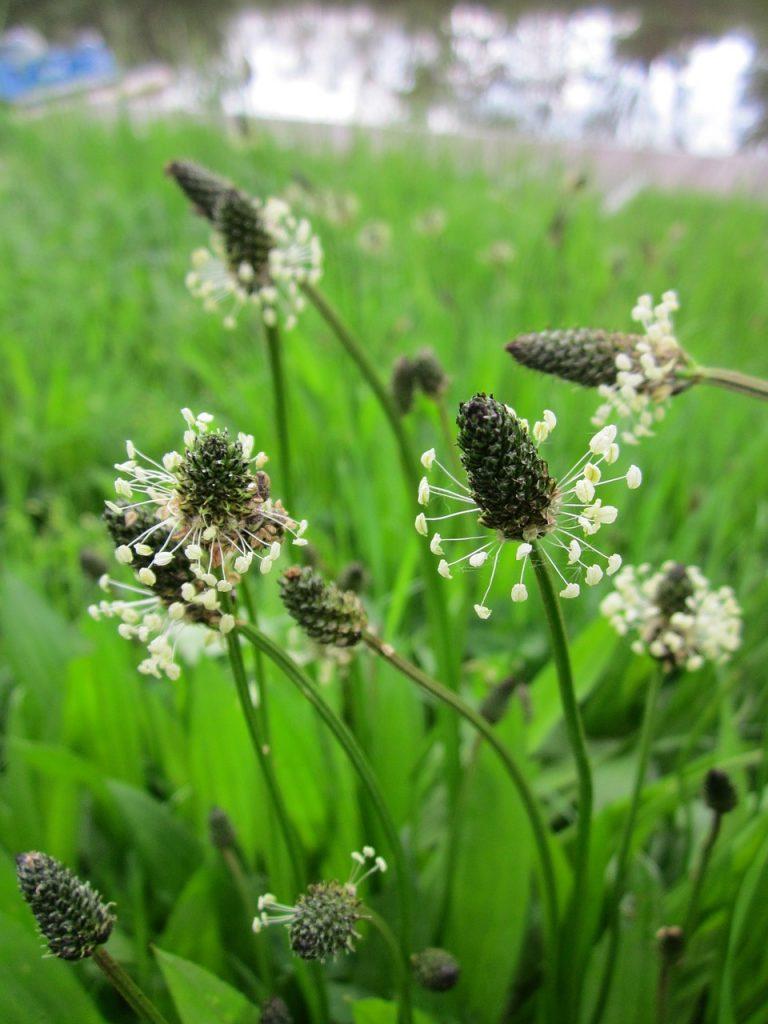 plantain lancéolé, mauvaise herbe des champs