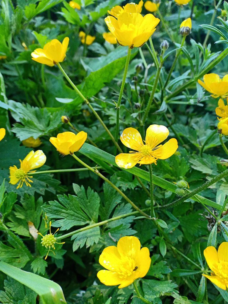 Renoncule rampante, plante, fleurs jaune
