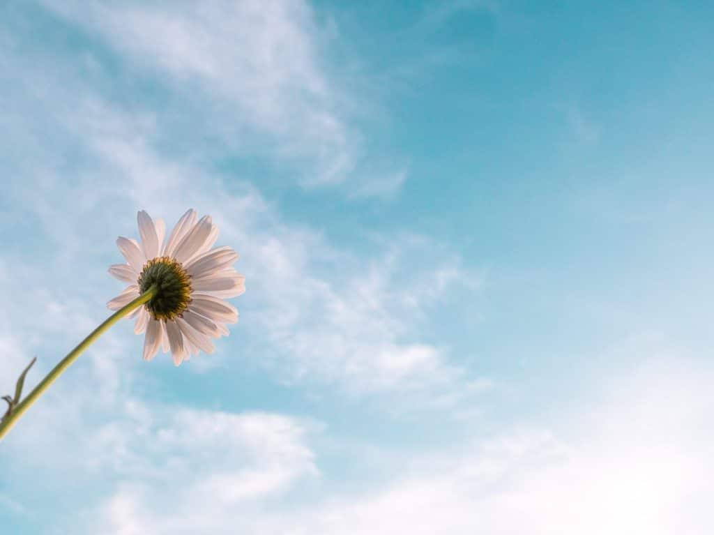 Fleurs Marguerite, Ciel Bleu avec quelques nuages blanc