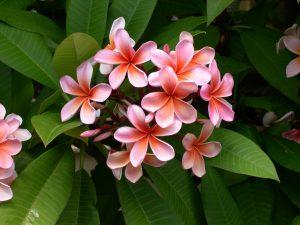 Fleurs de frangipanier rose et blanc
