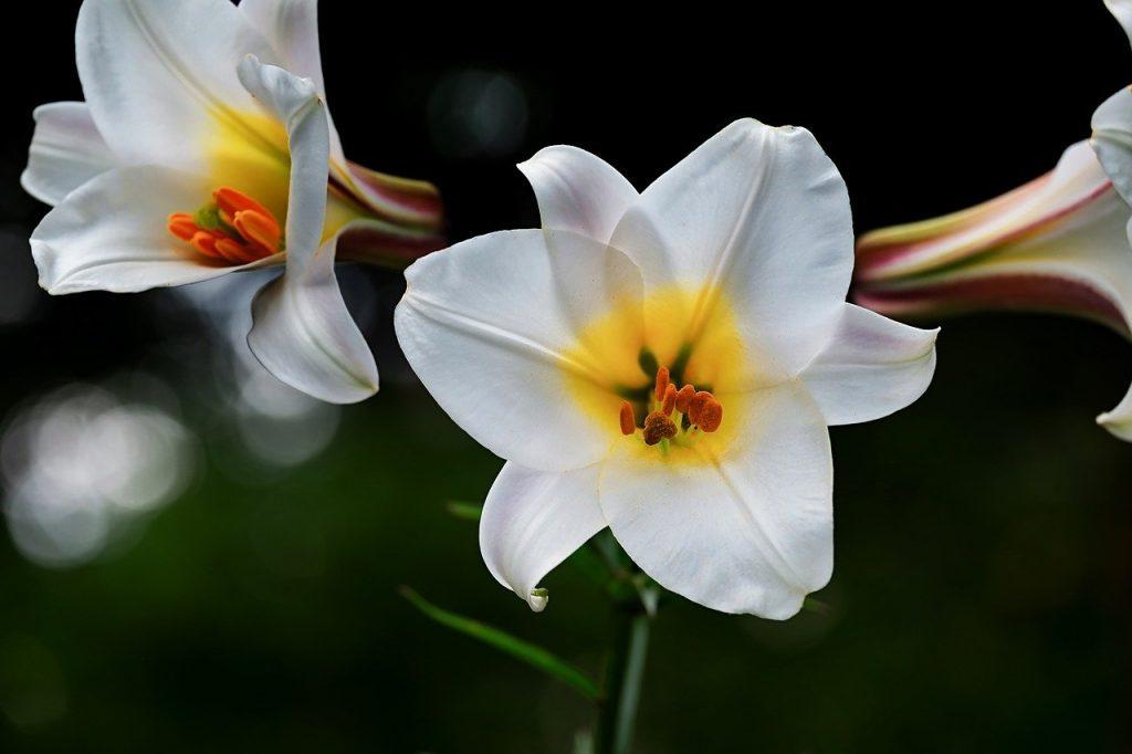 Fleurs de Lys blanche