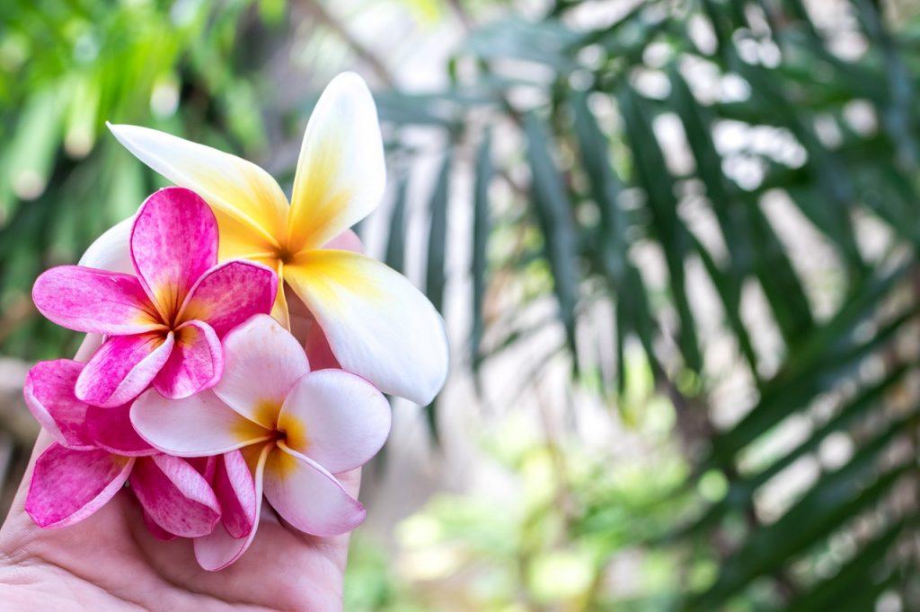 Fleurs de frangipanier rose et blanche