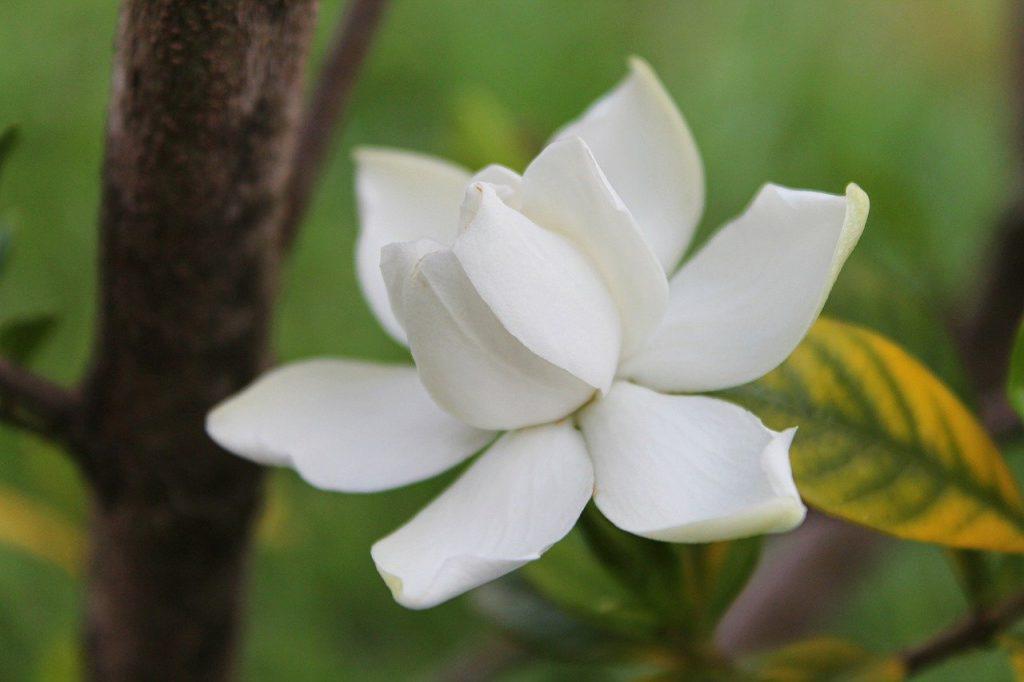 Gardenia fleurs blanche