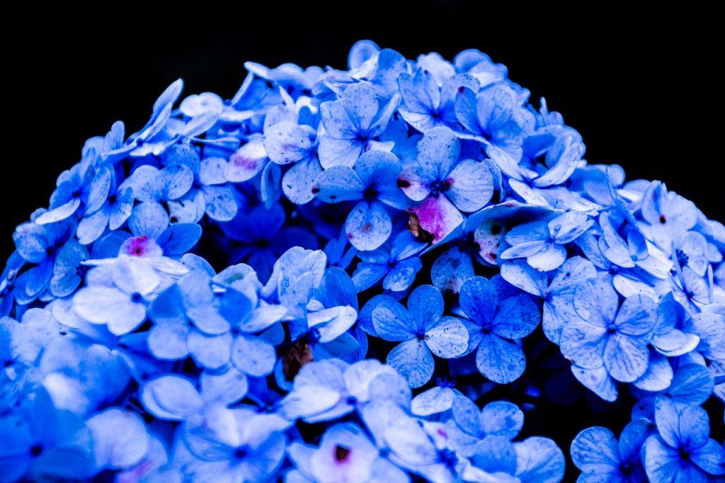 hydrangea paniculata bobo fleurs bleutés, violette