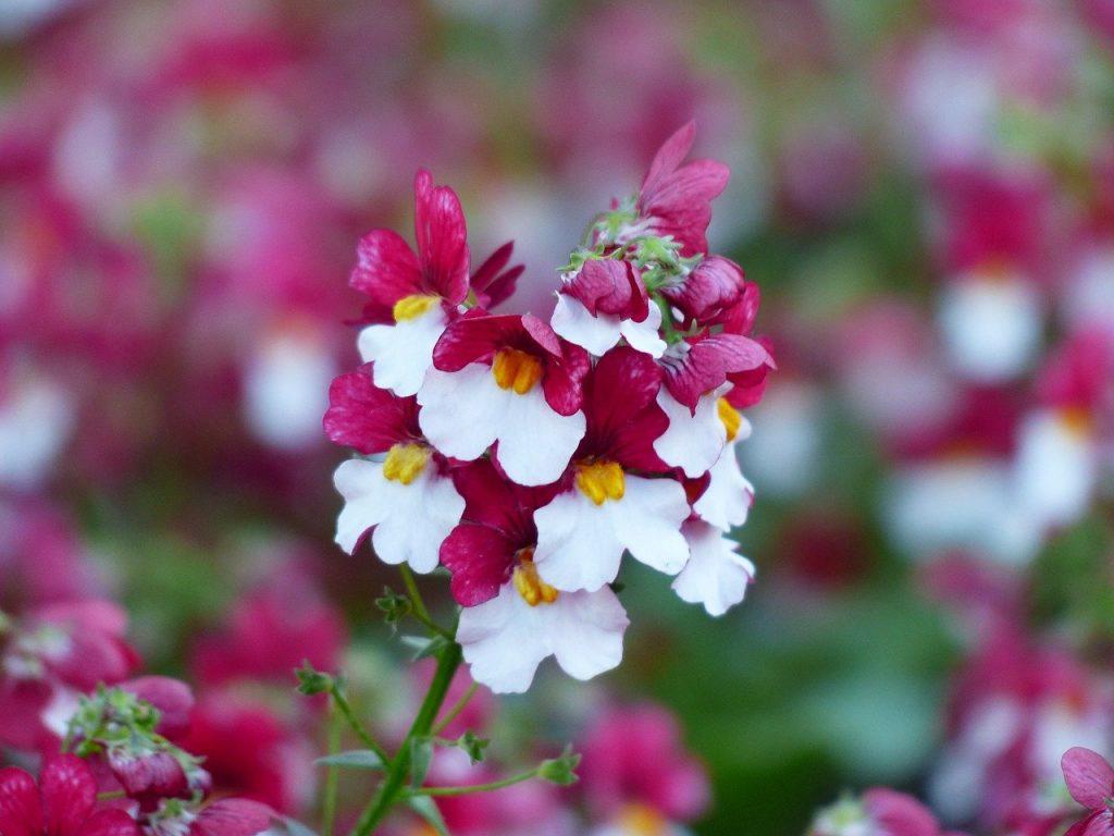 némésie fleurs blanche et violette