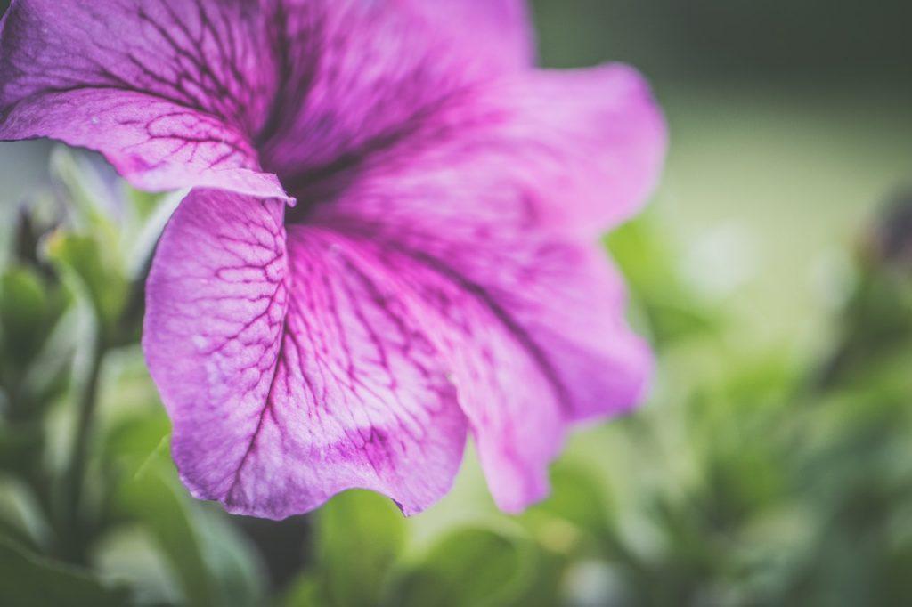 Fleurs de pétunia violette