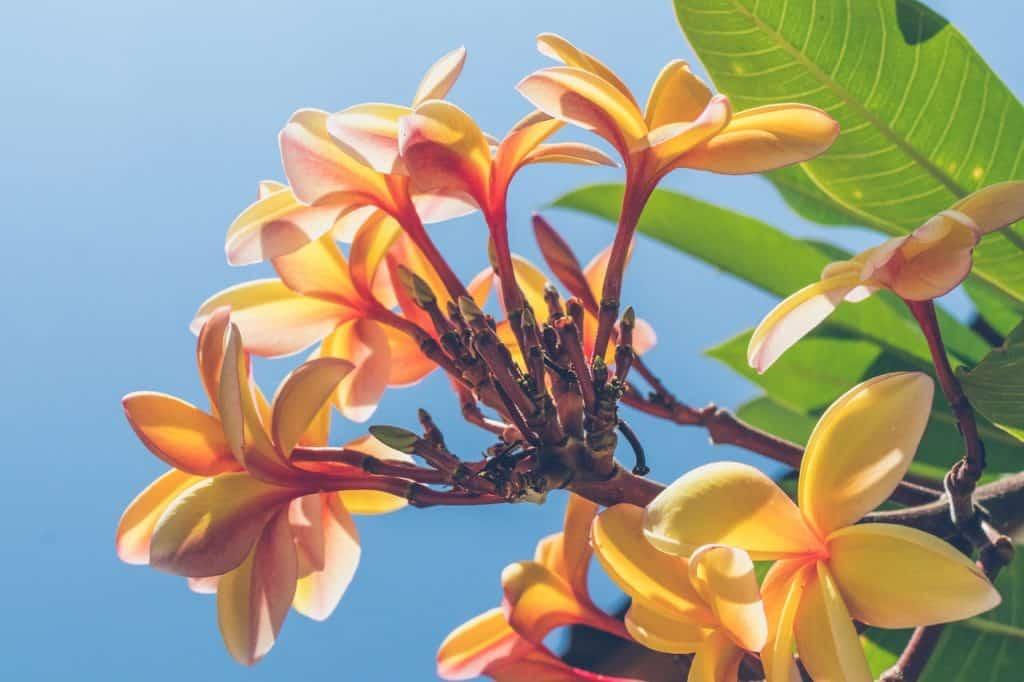 Petite fleurs de frangipanier orange clair, dans l'arbre