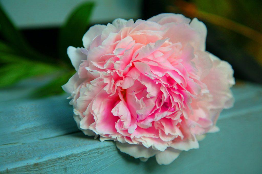 Fleurs pivoine rose claire