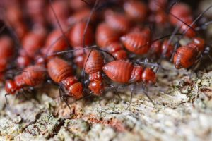 Termites rouges, insectes nuisibles