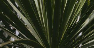 Cacté yucca cactus
