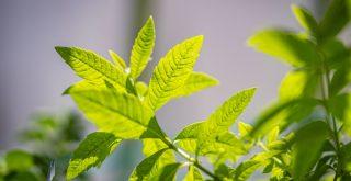 Verveine Citronnelle plante